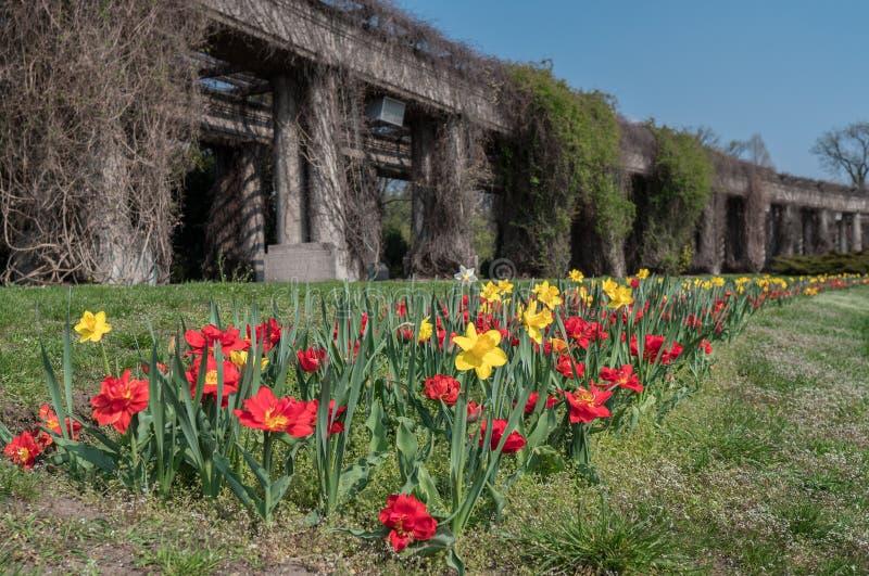 Vroege de Lente verse tulpen op groen gras stock foto's
