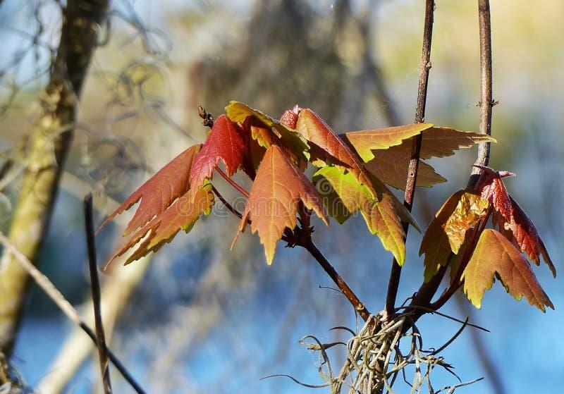Vroege de lentebladeren stock afbeelding