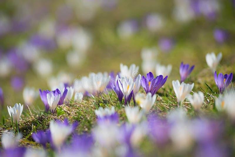 Vroege de lentekrokus in de alpen, purple en het wit onscherpe backgr stock foto