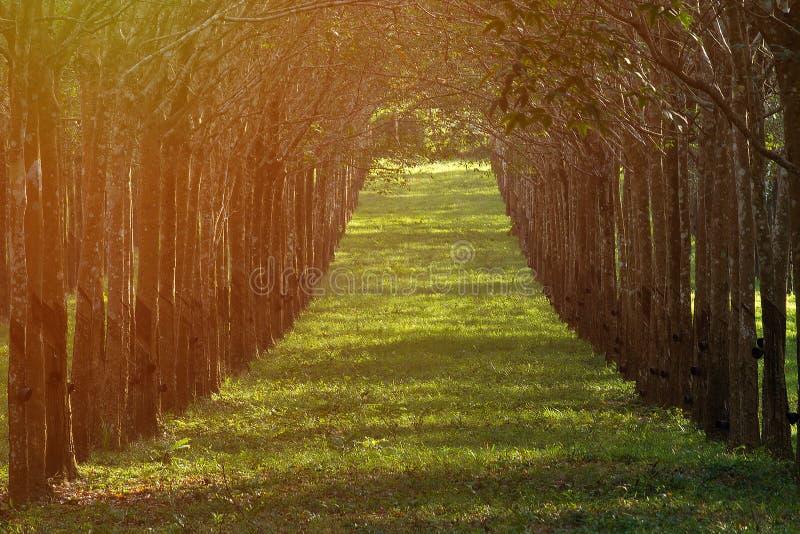 Vroege de ochtendzonsopgang van de rubberboomaanplanting met wit sapgewas stock foto