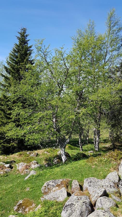 Vroege het bloeien fase, in het begin van de norwigian zomer stock afbeelding