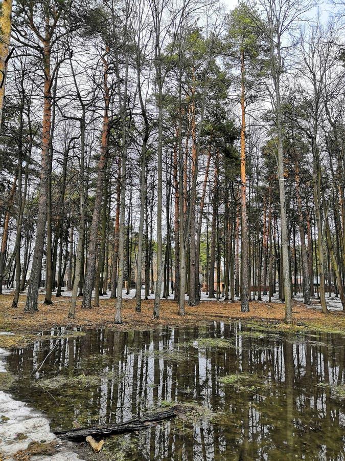 Vroege lente Met sneeuw bedekt dennenbos op een heldere zonnige dag Letland royalty-vrije stock afbeeldingen