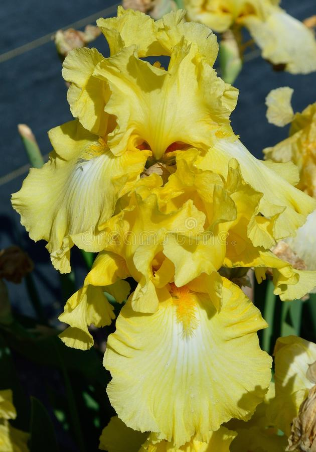 Vroege Meisjes Gebaarde Iris stock afbeelding