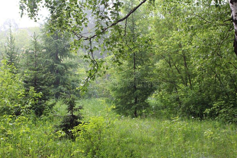 Vroege ochtend in het nevelige magische groene bos dat met dauw en nevel onder bomen wordt behandeld royalty-vrije stock afbeeldingen