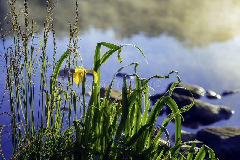 Vroege ochtend op meer met mist en gouden iris, andere moerasinstallaties in natuurlijke voorgrond, dageraad, eerste stralen van  royalty-vrije stock fotografie