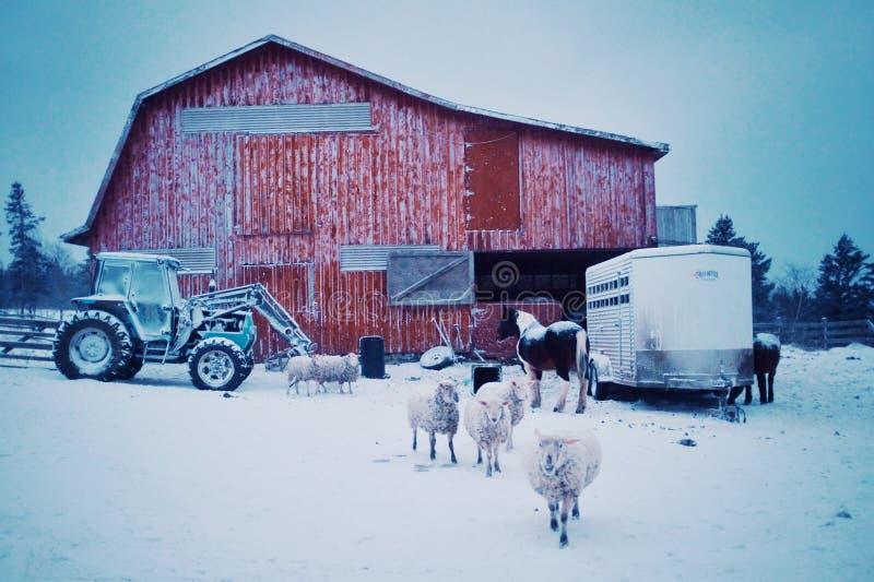 vroege ochtendscène met de schapen en de paarden die van landbouwbedrijfdieren uit de schuur komen tijdens de de wintersneeuw stock foto's