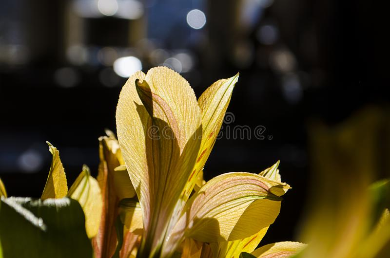Vroege ochtendzon die door de bloemblaadjes van een gele daglelie glanst stock foto