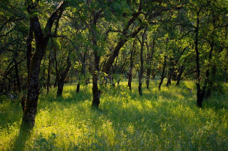 Vroege ochtendzonlicht gegoten schaduwen op bossen van Onderstel Wanda stock foto