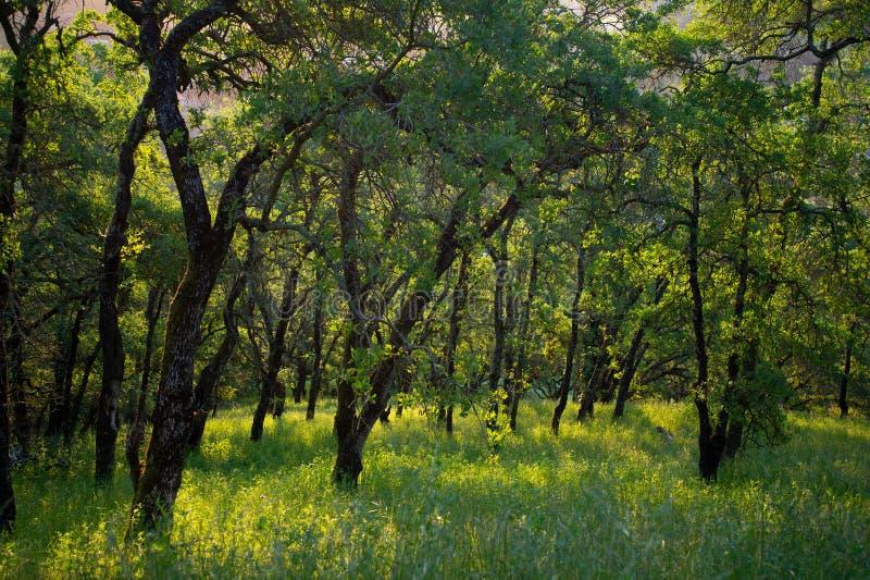 Vroege ochtendzonlicht gegoten schaduwen op bossen van Onderstel Wanda stock afbeelding