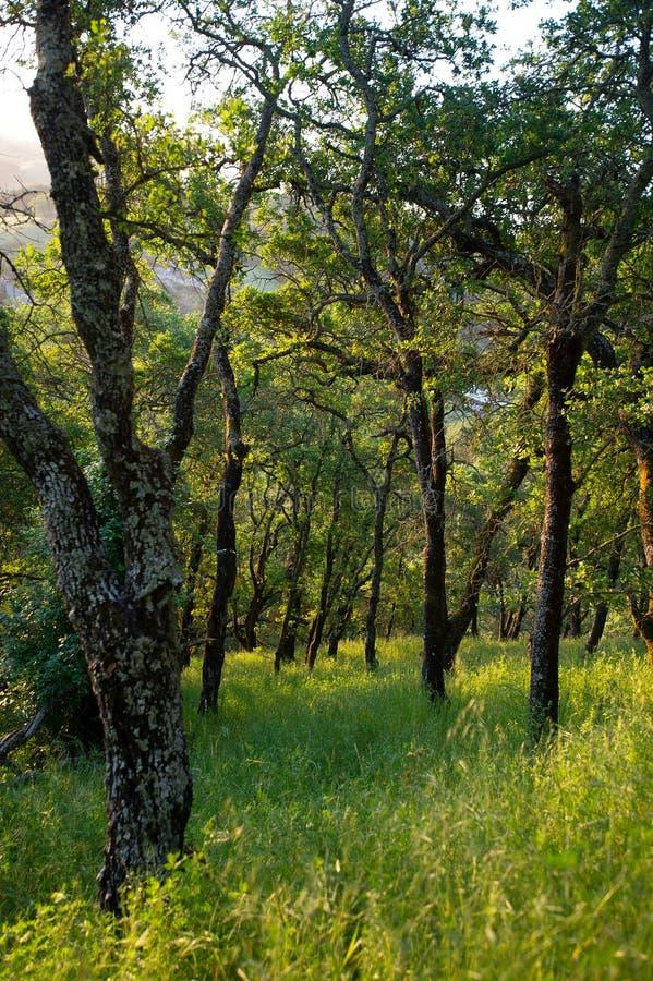 Vroege ochtendzonlicht gegoten schaduwen op bossen van Onderstel Wanda royalty-vrije stock afbeelding