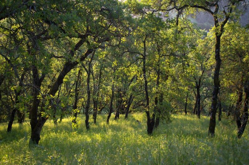 Vroege ochtendzonlicht gegoten schaduwen op bossen van Onderstel Wanda stock afbeeldingen
