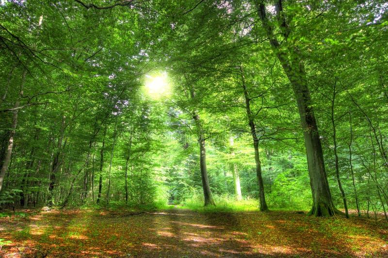 Vroege zon in het bos royalty-vrije stock afbeelding