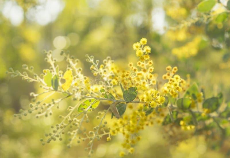 Vroege zonnige ochtend met Australische acacia stock foto's