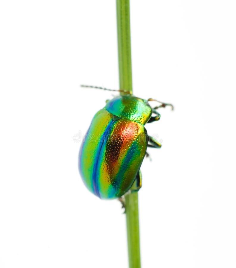 Vrolijk iriserend insect op een witte achtergrond stock afbeeldingen
