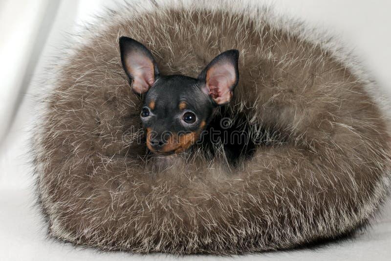 Vrolijk Russkiy-stuk speelgoed Russisch puppy speelgoed-Terrier in bont stock afbeelding