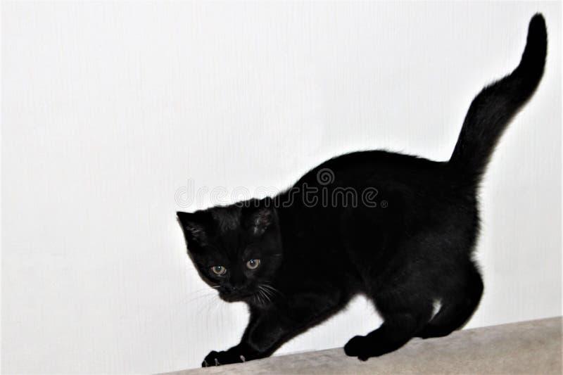 Vrolijk zwart Brits vlot-haired katje tegen een witte muur stock foto's