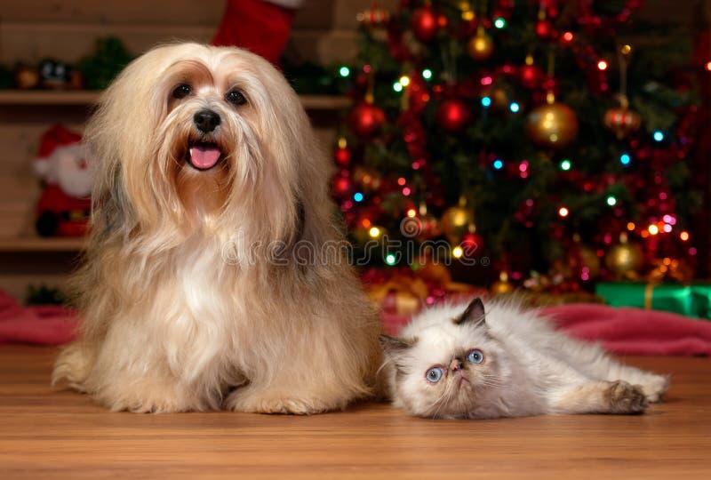 Vrolijke Havanese-hond en een colorpointkatje in Kerstmis stock foto's
