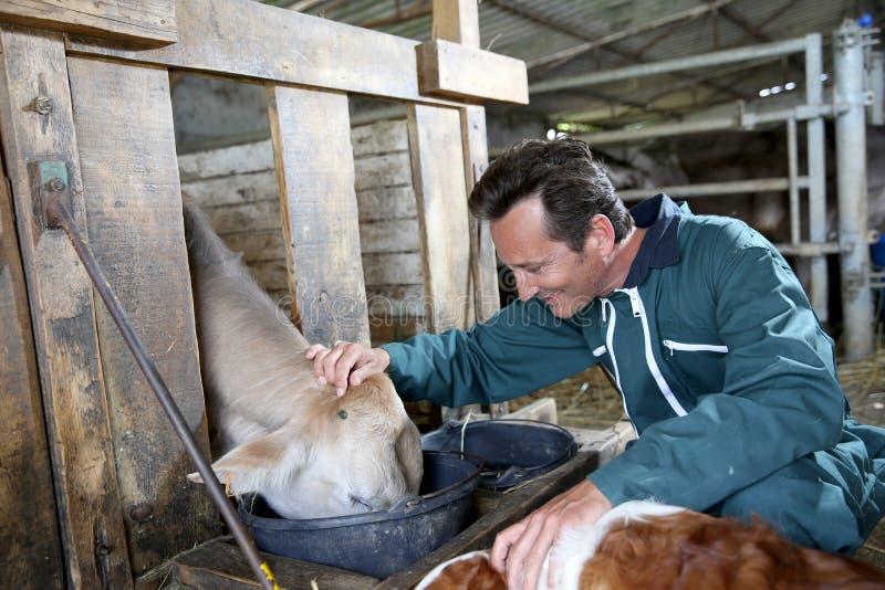 Vrolijke landbouwers voedende koeien stock foto's