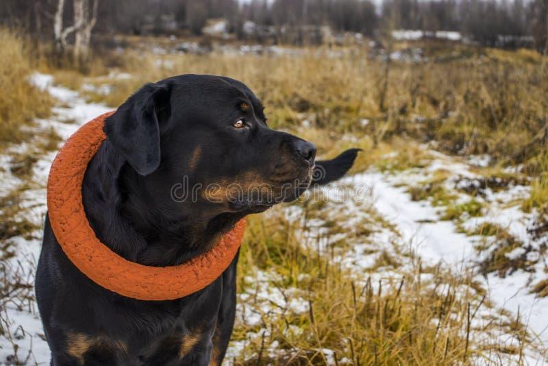 Vrolijke Rottweiler op een gang royalty-vrije stock foto's