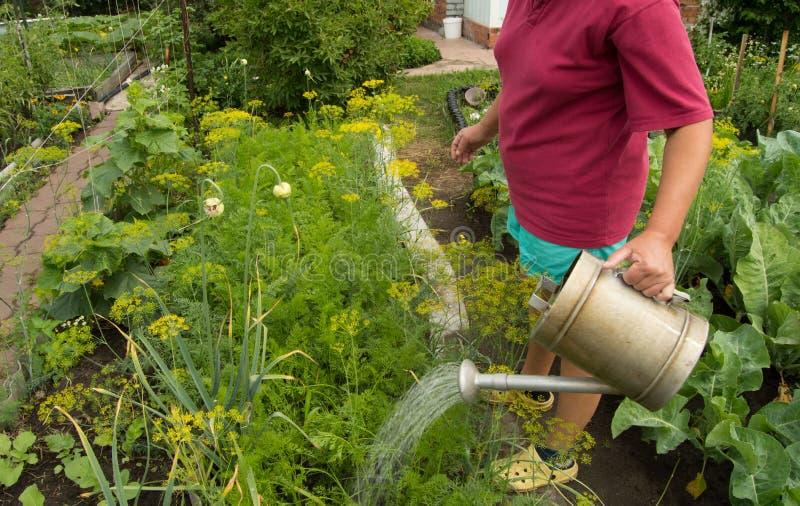 Vrouw in borrels en t-shirt die plantaardige installaties in uw tuin van een oude gieter water geven stock afbeelding