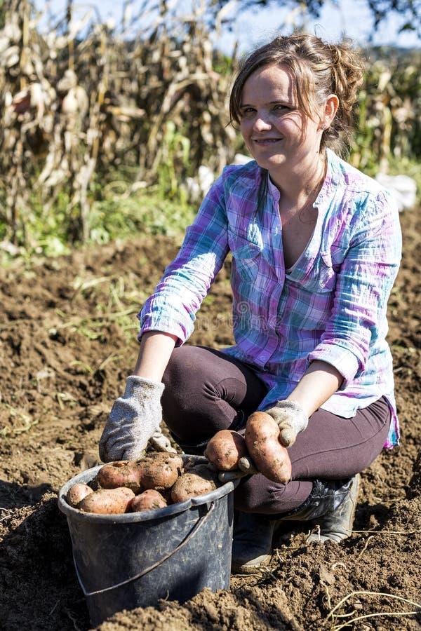 Vrouw die aan het gebied, het oogsten aardappels werken royalty-vrije stock afbeeldingen