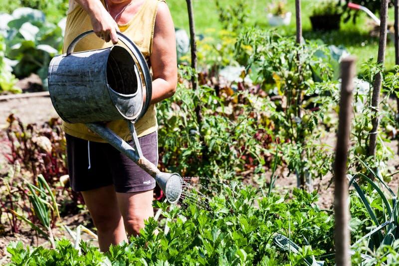 Vrouw die een metaalcontainer houden die de moestuin in één zonnige dag water geven Groene bladgroenten die gezond groeien royalty-vrije stock foto's
