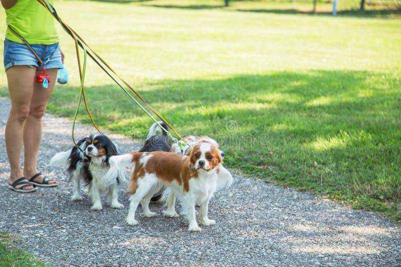 Vrouw die een pak van kleine honden Arrogante Koning Charles Spaniel lopen in park De professionele dienst van de hondleurder stock foto