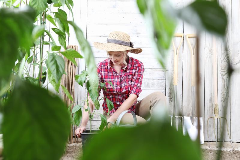 Vrouw die groene installaties in moestuin, van de pottenplaats planten in de grond, het werk voor de groei royalty-vrije stock foto's