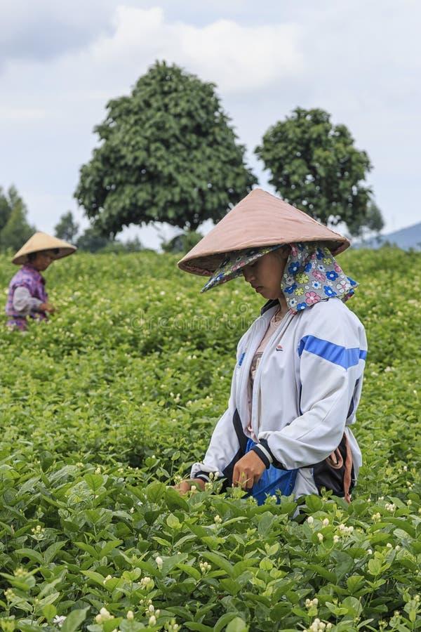 Vrouw die Jasmine Flowers in Jasmine Plantation in HengXian plukken, het Chinese kapitaal van Jasmijn stock afbeelding