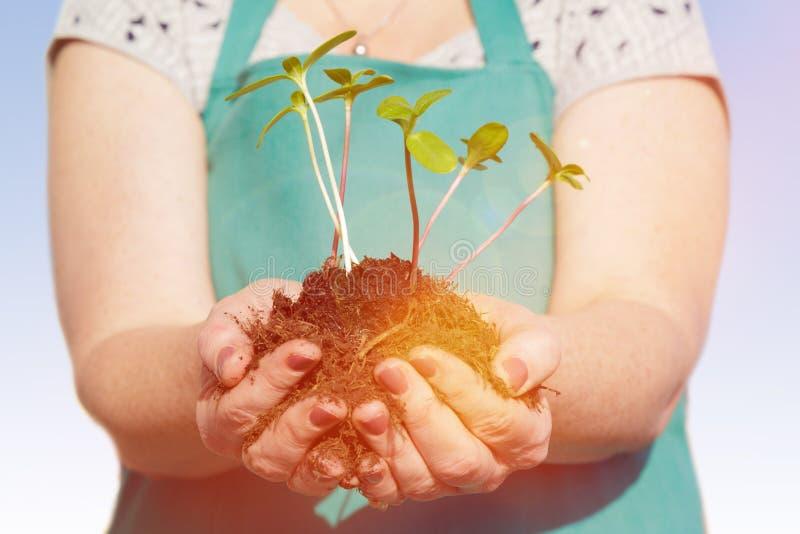 Vrouw die kleine groene installaties met haar handen planten stock afbeelding