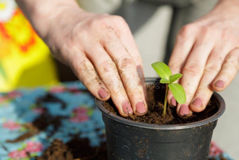 Vrouw die kleine groene installaties met haar handen planten stock foto