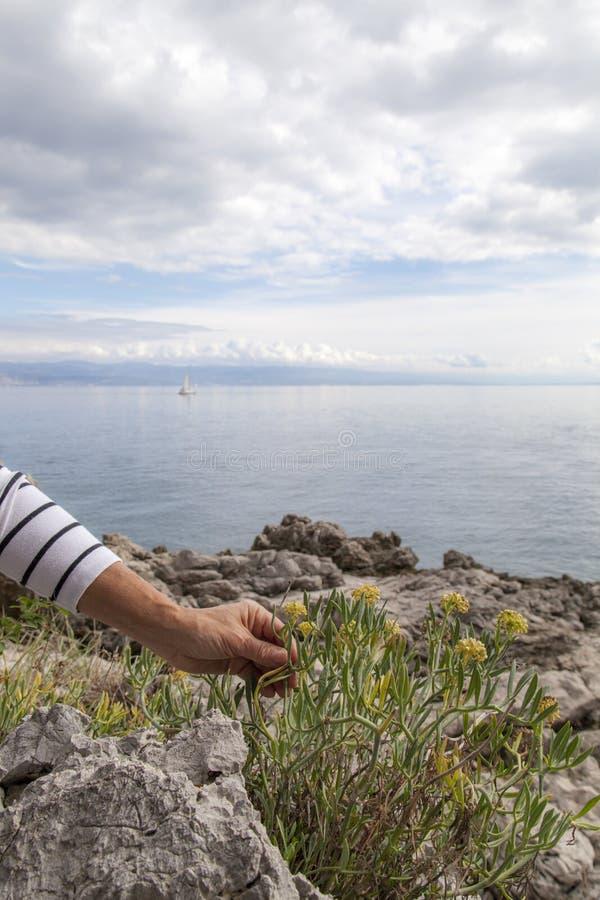 Vrouw die Mediterrane kruiden plukken stock afbeeldingen