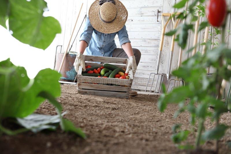 Vrouw die in moestuin houten doos met landbouwbedrijfgroenten houden De herfstoogst en gezonde natuurvoeding royalty-vrije stock fotografie