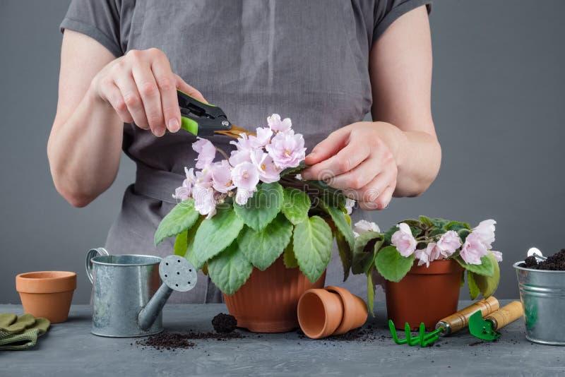 Vrouw die voor ingemaakte Saintpaulia-bloemen geven royalty-vrije stock afbeelding