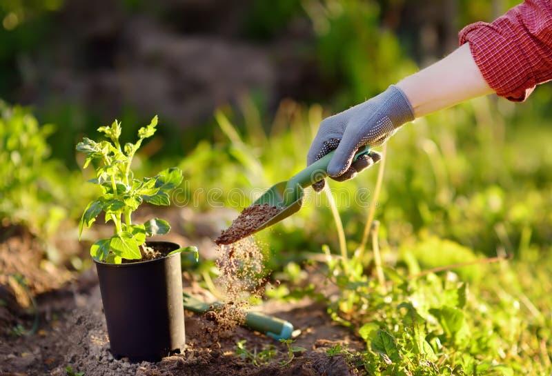 Vrouw die zaailingen in bed in de tuin planten bij de zomer zonnige dag Tuinmanhanden met jonge plant Tuinhulpmiddelen, handschoe stock foto