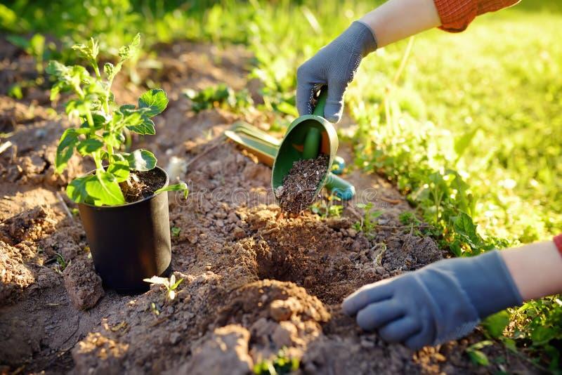 Vrouw die zaailingen in bed in de tuin planten bij de zomer zonnige dag Tuinmanhanden met jonge plant Tuinhulpmiddelen, handschoe stock fotografie