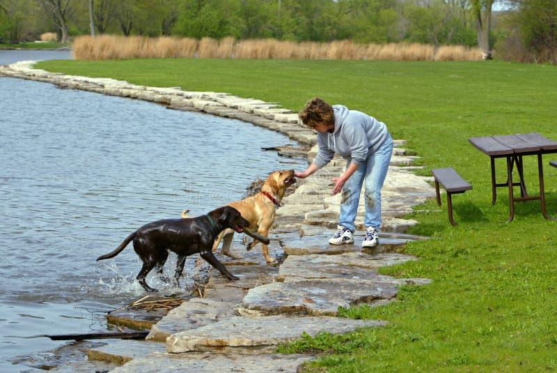 Vrouw en honden bij park stock afbeeldingen