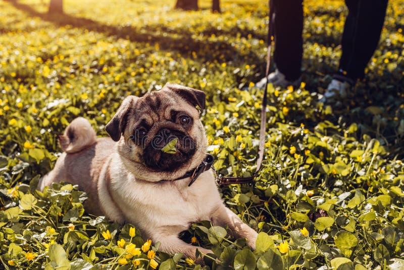 Vrouw het lopen pug de hond in de lente bos Gelukkig puppy die onder gele bloemen in de ochtend liggen en kauwt gras royalty-vrije stock foto's