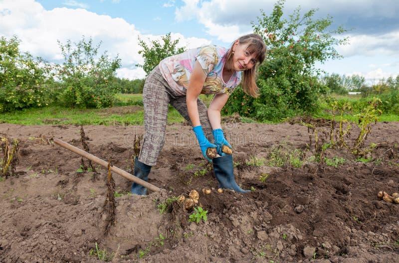 Vrouw het oogsten aardappel bij het gebied stock fotografie