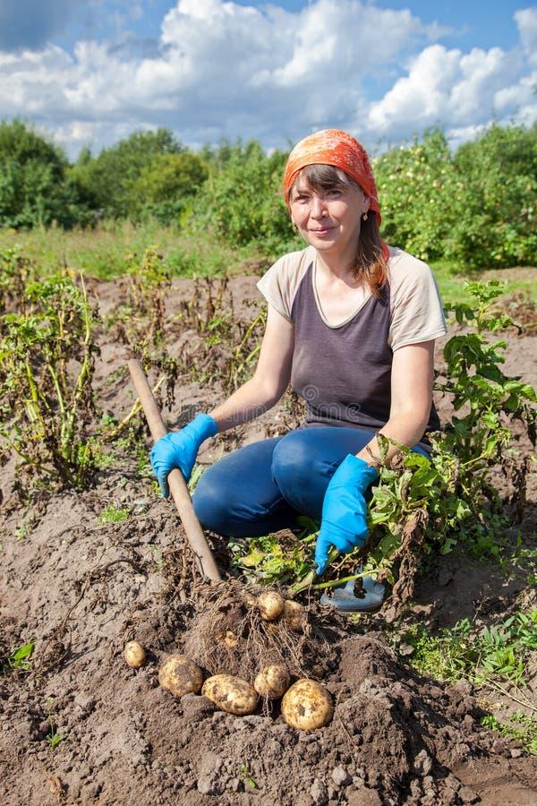 Vrouw het oogsten aardappel bij het gebied stock foto's