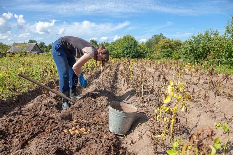 Vrouw het oogsten aardappel op het gebied stock fotografie