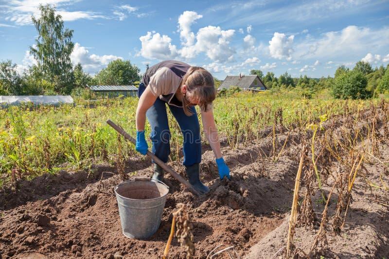 Vrouw het oogsten aardappel op het gebied royalty-vrije stock fotografie