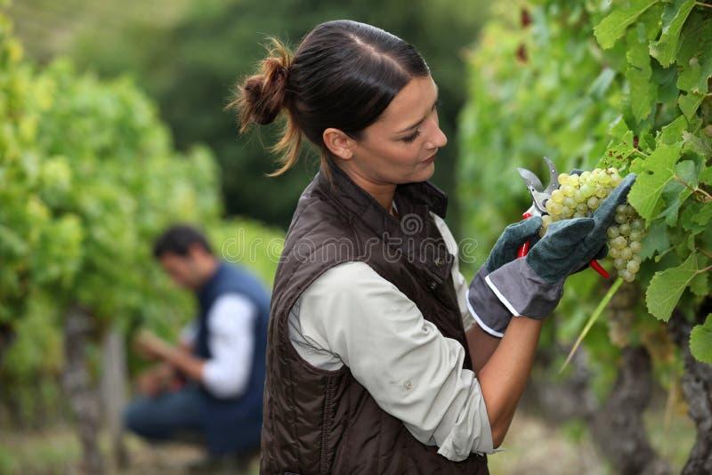 Vrouw het oogsten druiven royalty-vrije stock afbeeldingen
