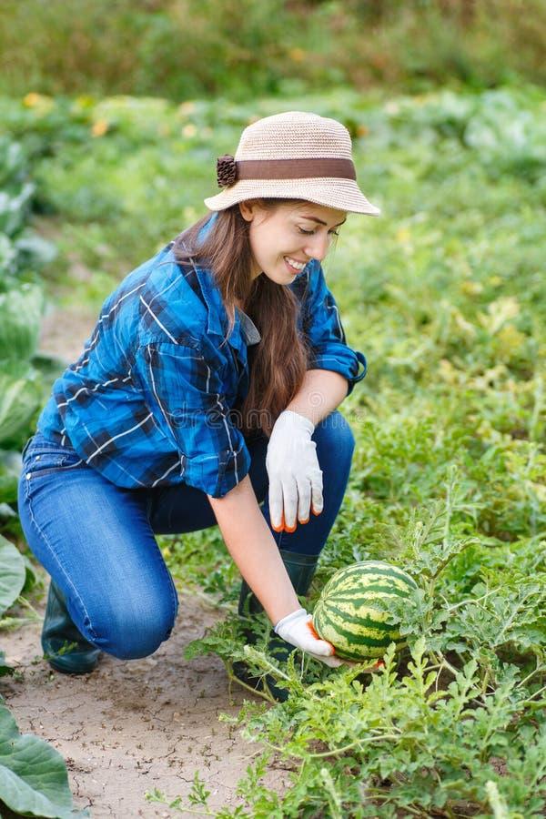 Vrouw het oogsten watermeloenen op het gebied royalty-vrije stock afbeelding