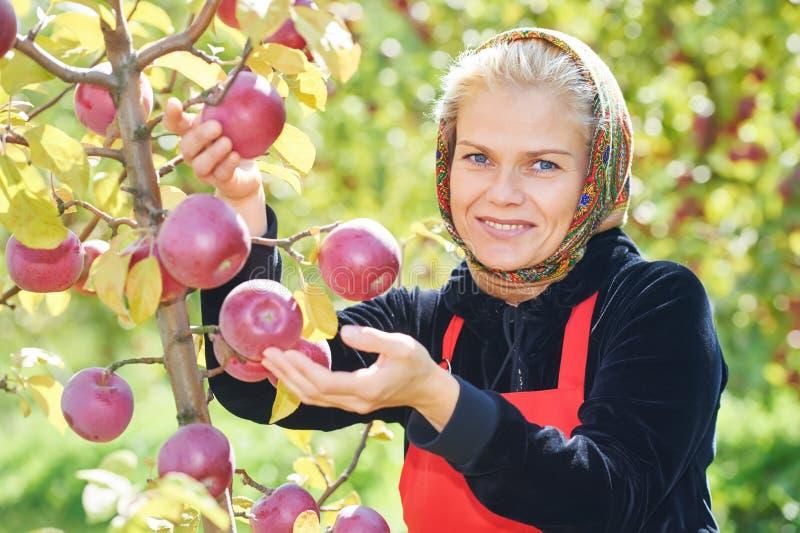Vrouw het plukken appelen in boomgaard stock foto