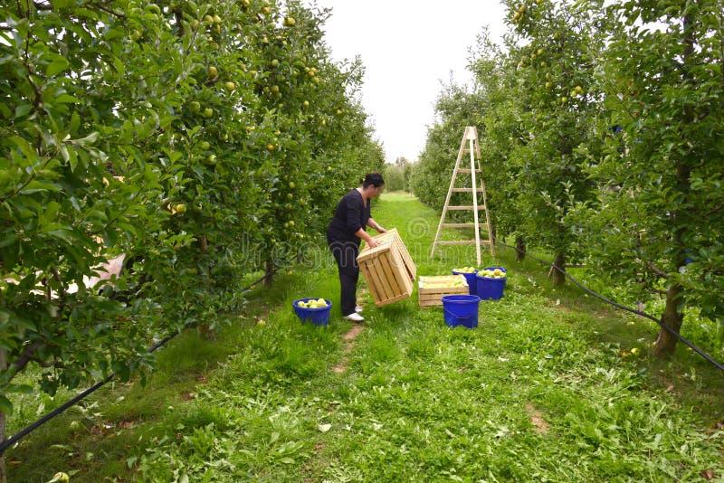 Vrouw het plukken appelen in de boomgaard in Resen, Macedonië stock foto's