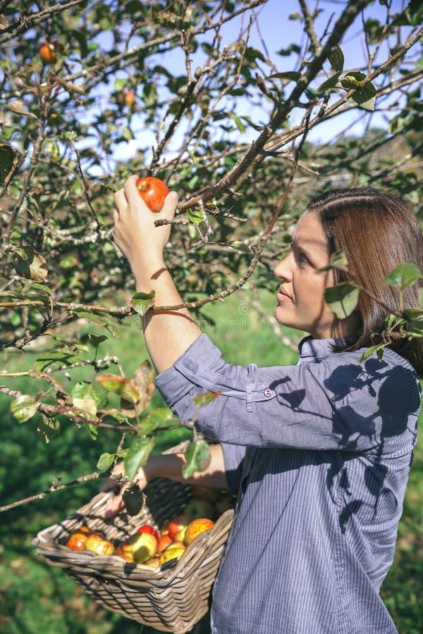 Vrouw het plukken appelen met mand in haar handen stock foto's