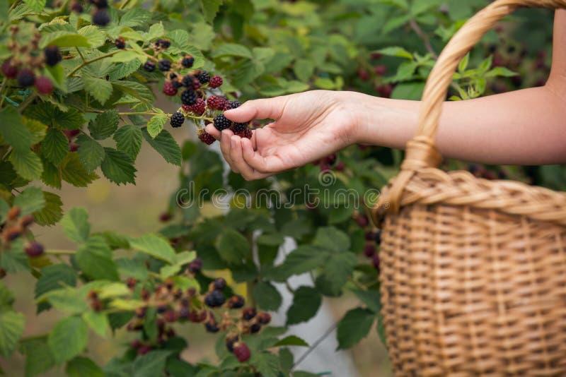 Vrouw het plukken braambessen op een landbouwbedrijf stock foto's