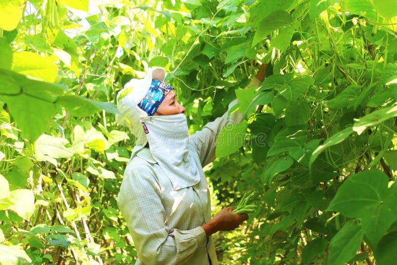 Vrouw het plukken erwten in de tuin royalty-vrije stock foto's