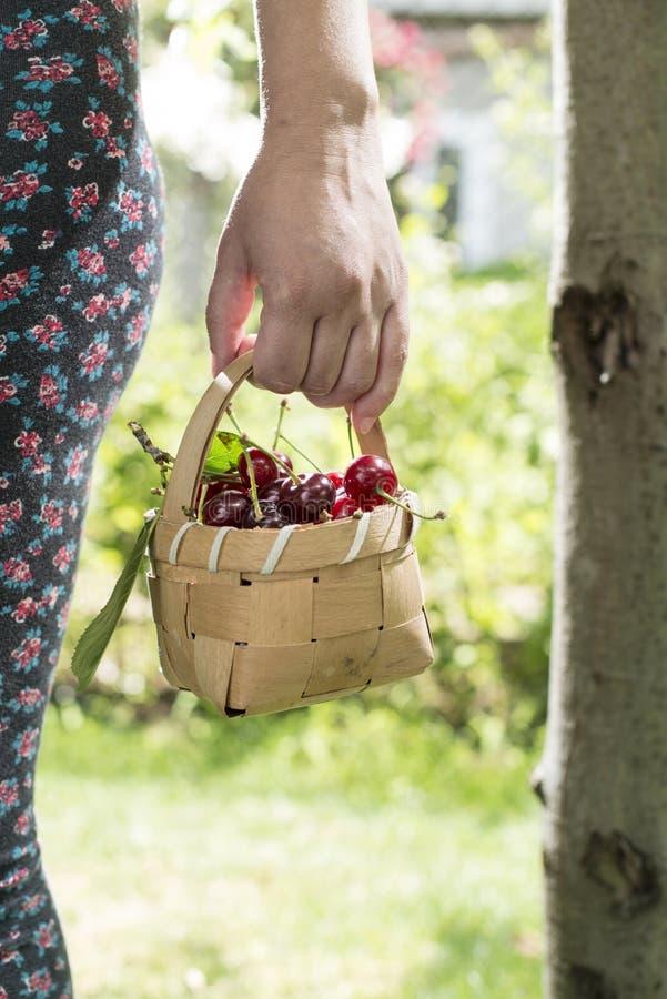 Vrouw het plukken kersen in de tuin royalty-vrije stock afbeelding